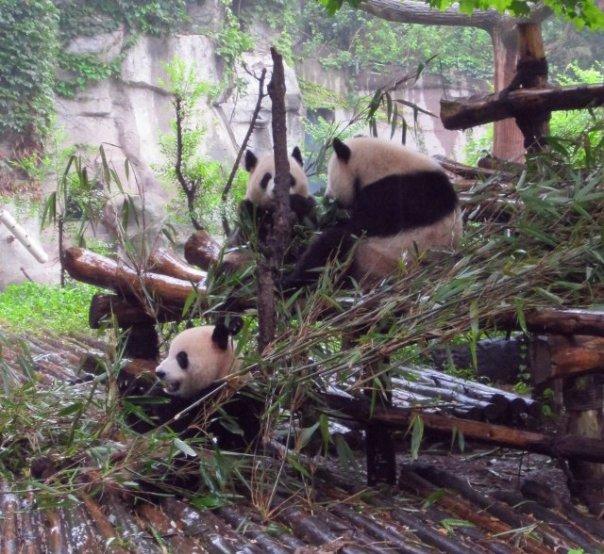 Garzê Tibetan Autonomous Prefecture, Day 2: Chengdu Panda Base